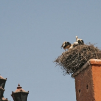 Storchennest in Marrakech