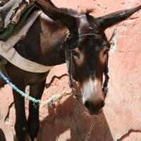 Esel in Marrakech