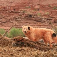 Hund im marokkanischem Dorf